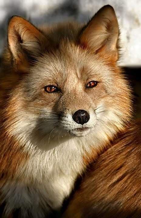 Όμορφη Κόκκινη Αλεπού... 1
