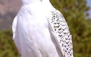 Γεράκι περήφανο κι αγέρωχο λευκό και πανέμορφο...