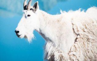 Γνωρίζατε ότι οι κατσίκες του βουνού ρίχνουν το Χειμερινό τρίχωμα τους  ξεκινώντ...