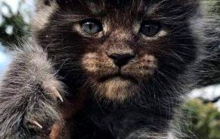Η Μέιν Κουν είναι Αμερικανική ημιμακρύτριχη γάτα. Ως ξεχωριστή φυλή αναγνωρίστηκ...