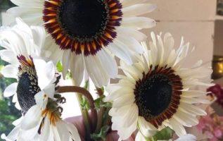 Καταπληκτικό λευκό ηλιοτρόπιο...