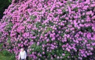 Μια κυρία 100 χρονών και το  Ροδόδεντρο...