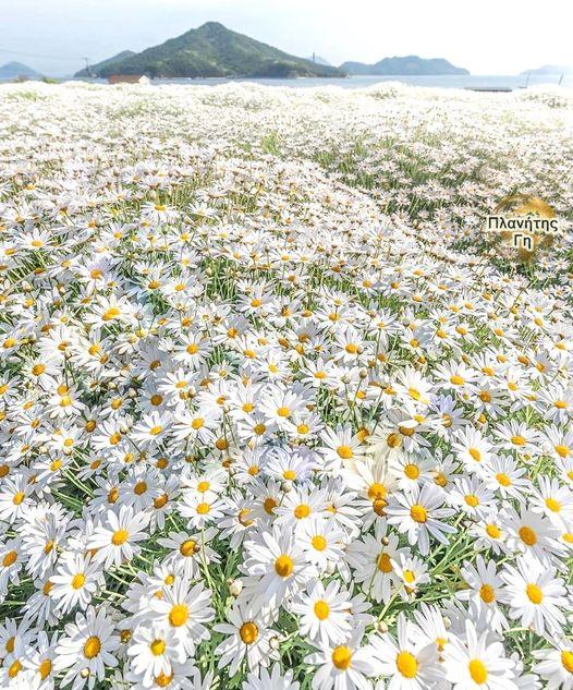 Μια φαντασμαγορική πεδιάδα με μαργαρίτες στο πάρκο Λουλουδιών Urashima, Ιαπωνί... 1