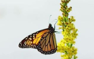 Οι πεταλούδες είναι αυτοκινούμενα λουλούδια....