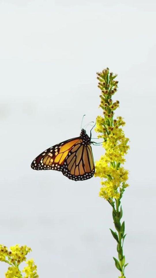 Οι πεταλούδες είναι αυτοκινούμενα λουλούδια.... 1