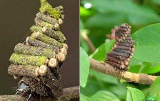 Οι  Bagworm Moth Caterpillar συλλέγουν  και πριονίζουν  μικρά ραβδιά για να κατα...
