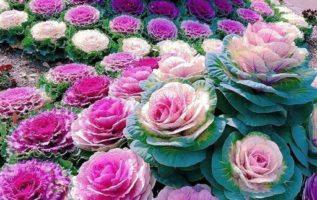 Ονομαζονται brasica .Ειναι το λουλουδι απο το λαχανο. Βασικα εναι λαχανα και καλ...