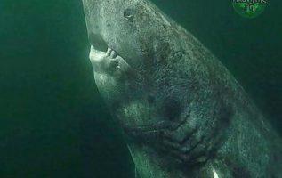 Πρόκειται για έναν 390 χρονο καρχαρία της Γροιλανδίας που ανακαλύφθηκε πρόσφατα ...