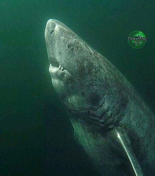Πρόκειται για έναν 390 χρονο καρχαρία της Γροιλανδίας που ανακαλύφθηκε πρόσφατα ... 1