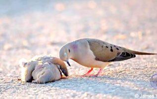 """Τα πουλιά αυτά που ονομάζονται """"Χελώνες"""" κι ανήκουν στην οικογένεια των περιστερ..."""