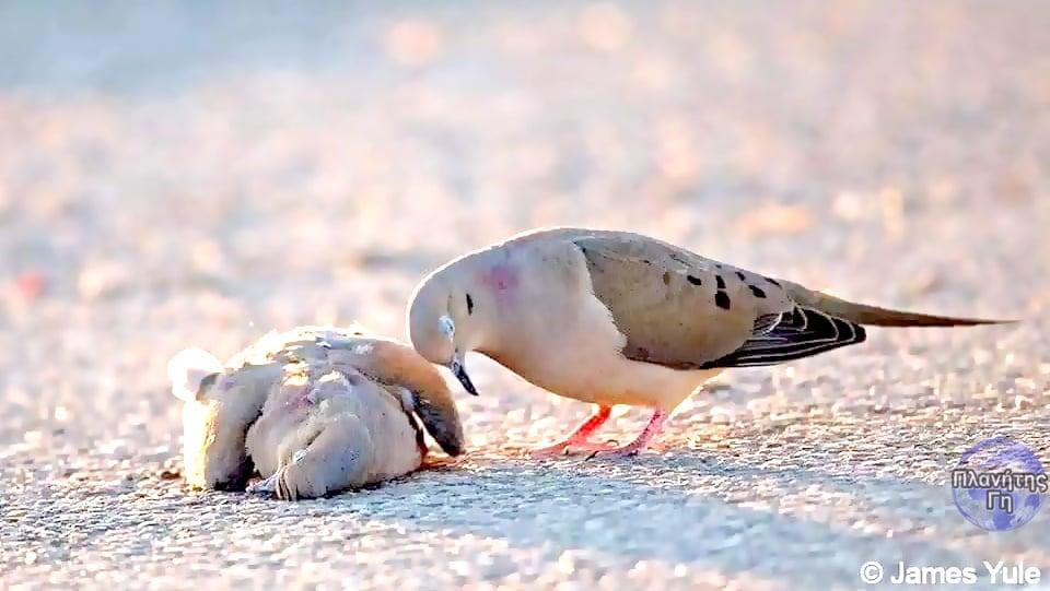 """Τα πουλιά αυτά που ονομάζονται """"Χελώνες"""" κι ανήκουν στην οικογένεια των περιστερ... 1"""