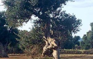 Το δέντρο που περπατάει....