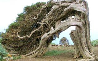 Το παλιό δέντρο Juniper στέκεται μόνο του....