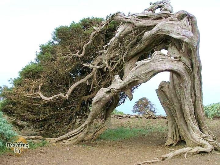 Το παλιό δέντρο Juniper στέκεται μόνο του.... 1