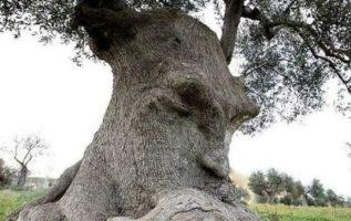 Το ′′ Δέντρο Σκέψης ′′ - Αρχαία ελιά στην Πούλια, Ιταλία...