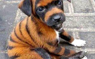ένα σκυλάκι που μοιάζει με τίγρη...