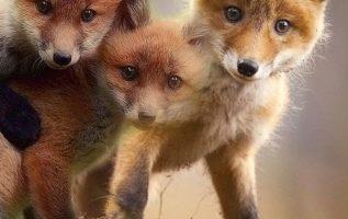 αξιολάτρευτες οι μικρές αλεπουδίτσες...