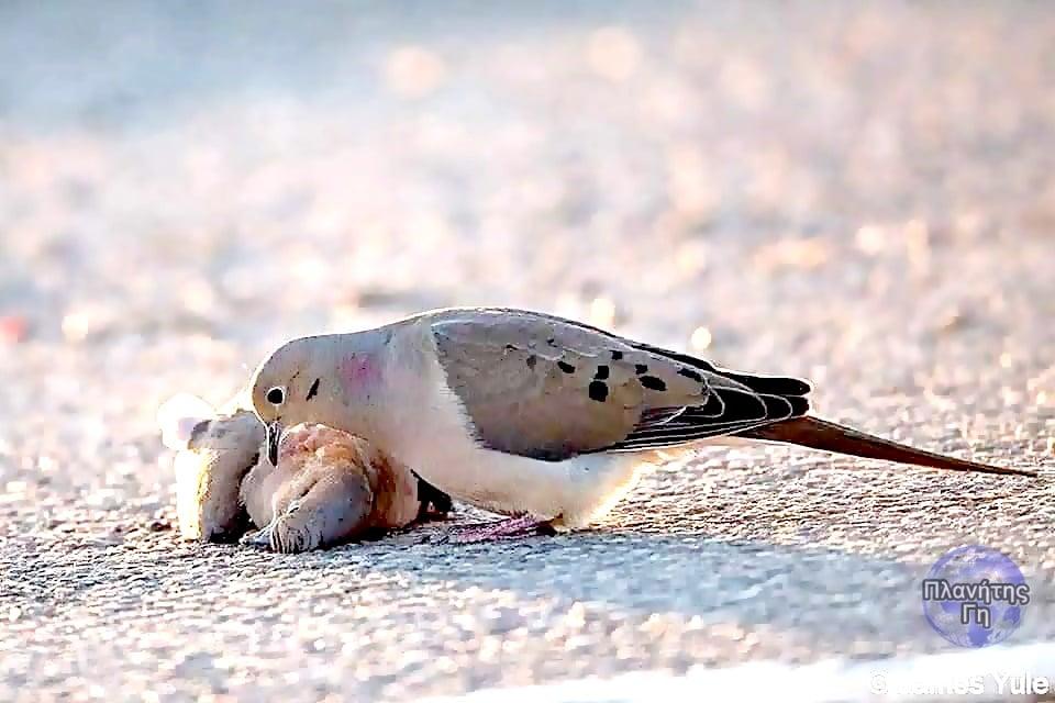 """Τα πουλιά αυτά που ονομάζονται """"Χελώνες"""" κι ανήκουν στην οικογένεια των περιστερ... 2"""