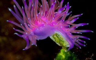 Flabellina affinis, ένας υπέροχος γυμνοσάλιαγκας. Οι ωκεανοί μας είναι γεμάτοι ά...