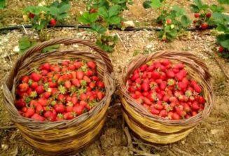 Αυτά τα ξέρατε για τις φράουλες ;...