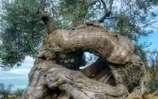 Ελαιόδεντρα στην Απουλία της Ιταλίας...