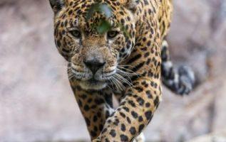 Η Jaguar είναι το μεγαλύτερο είδος γάτας στην Αμερική και το τρίτο μεγαλύτερο στ...