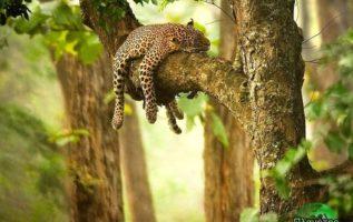 Ως νυχτόβια ζώα, οι λεοπαρδάλεις δραστηριοποιούνται τη νύχτα όταν θα πάνε  για κ...