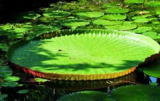 Γνωρίζετε ότι, υπάρχουν σε παραπόταμο του ποταμού Παραγουάης, γιγάντια νούφαρα π...
