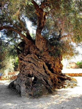 Το παλαιότερο δέντρο ελιάς στον κόσμο που βρίσκεται στο νησί της Κρήτης. Εκτιμάτ...