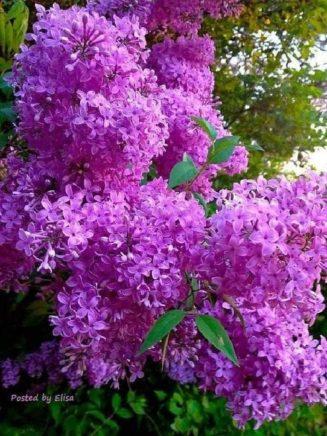 H Πασχαλιά, είναι δέντρο ευλογημένο από την Παναγία... Ο λαός λέει, ότι όταν στα...
