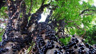 Jabuticaba, Αυτοφυές δέντρο Βραζιλίας που χρησιμοποιήτε για οινοποίηση.!!...