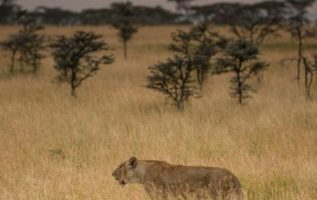 Tanzania Big Cats...