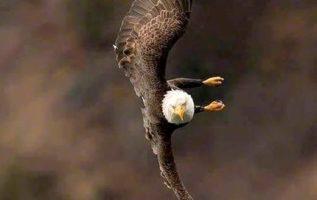 Ένας Φαλακρός αετός σε πτήση....