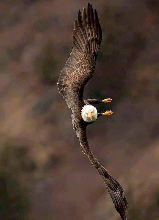 Ένας Φαλακρός αετός σε πτήση.... 1