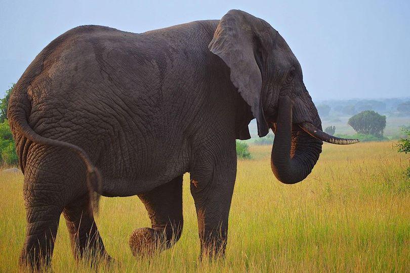 Γνωρίζετε ότι, ένας ελέφαντας χρειάζεται περίπου 300 κιλά φαγητό και πολύ νερό κ... 1