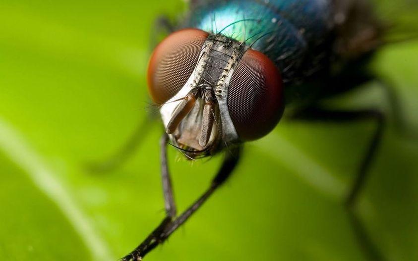 Γνωρίζετε ότι, οι μύγες βλέπουν επτά φορές πιο γρήγορα από τους ανθρώπους και αυ... 1