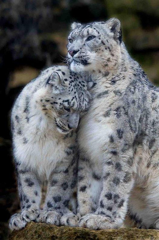 Δύο λεοπαρδάλεις χιονιού μοιράζονται μια τρυφερή στιγμή... 1