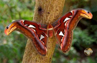 Ο σκόρος του Άτλαντα  (atlas moth)   έχει φτερά που μοιάζουν με δύο κόμπρες βλέπ...