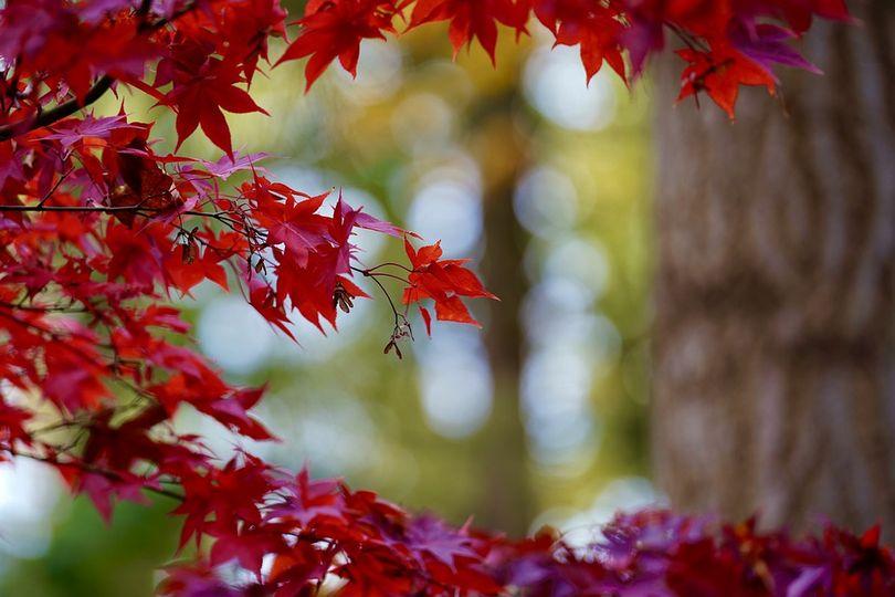 Ο φθινοπωρινός σφένδαμος..... 1