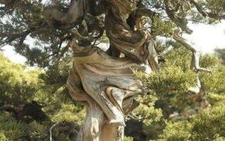 ′ Το στριμμένο δέντρο ζει τη ζωή του...,...