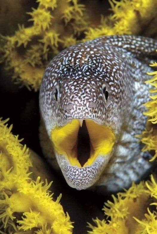 Beauty of Nature Yellow-mouth Moray Eel, Red Sea.... 1